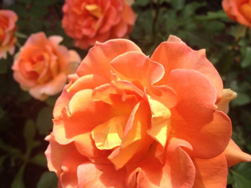 Rose Garden, Lake Harriet, Minneapolis, MN