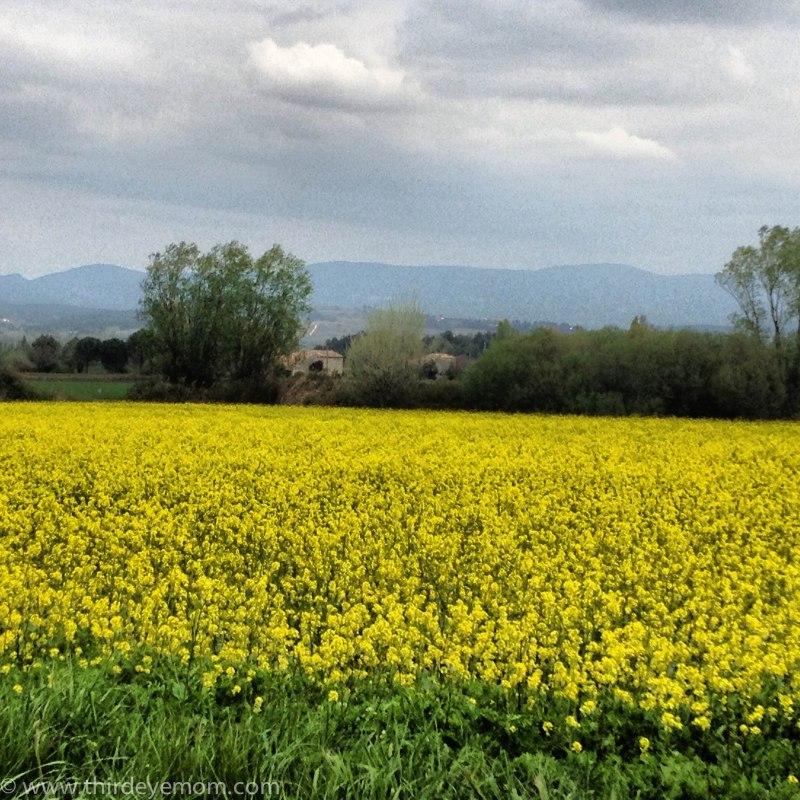 Fields of fennel