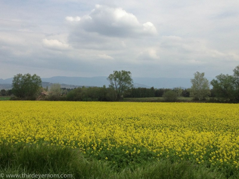 Fennel fields in Provence