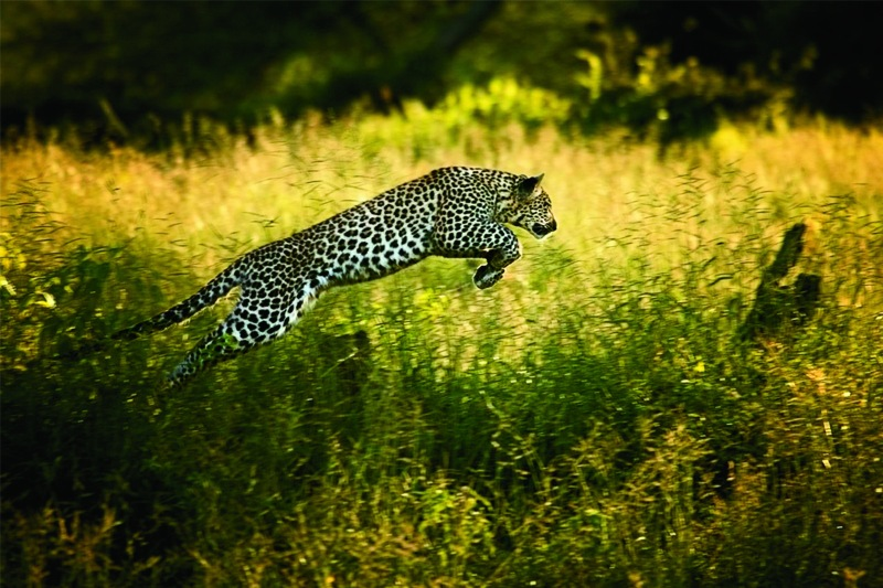 """In a hunting game with her mother, a young leopard leaps through tall grass. Photo credit: BEVERLY JOUBERT/National Geographic """"Women of Vision"""" exhibit"""