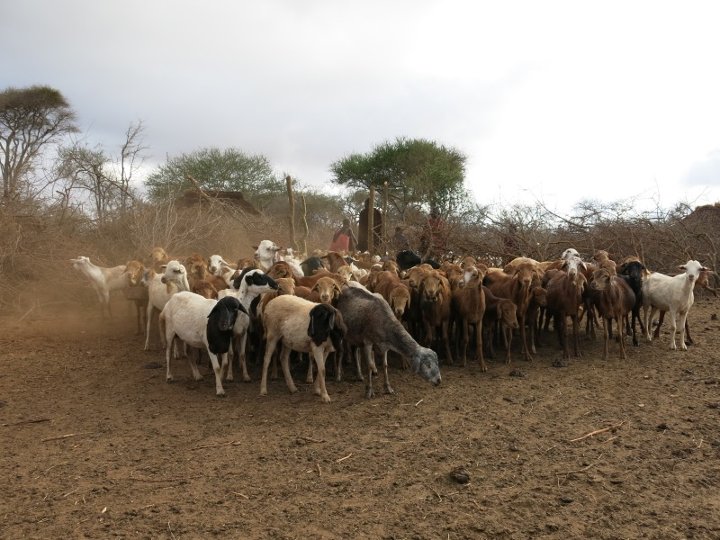 "Livestock gathers inside an enclosure called a ""boma,"" which is designed to protect the animals from attack by predators, thereby sparing lions from retaliatory killings. More information is available at CauseAnUproar.org. Photo credit: © Daniel Stone and Spencer Millsap/National Geographic"