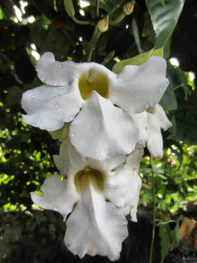 White tropical flower