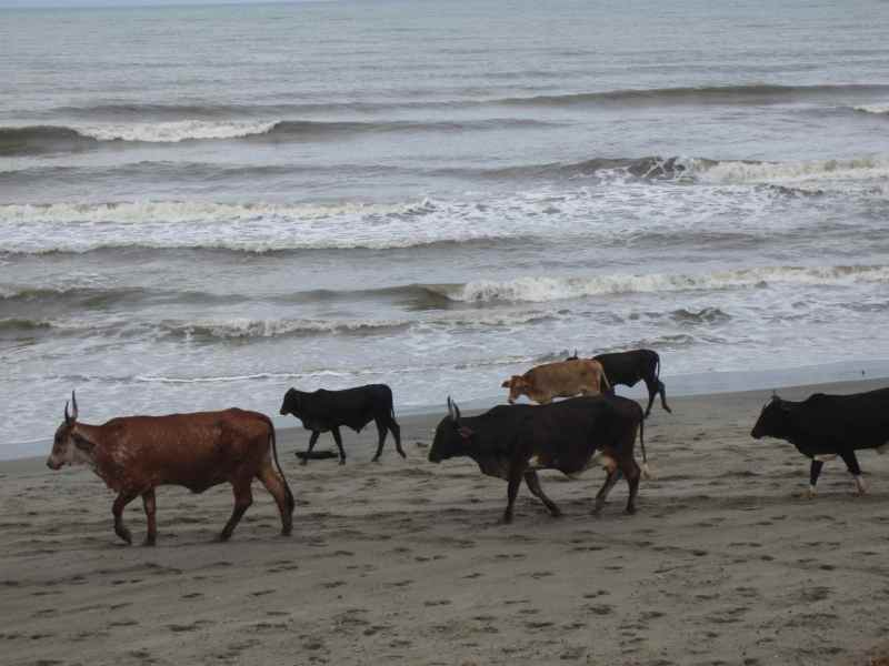 Cows on beach Honduras
