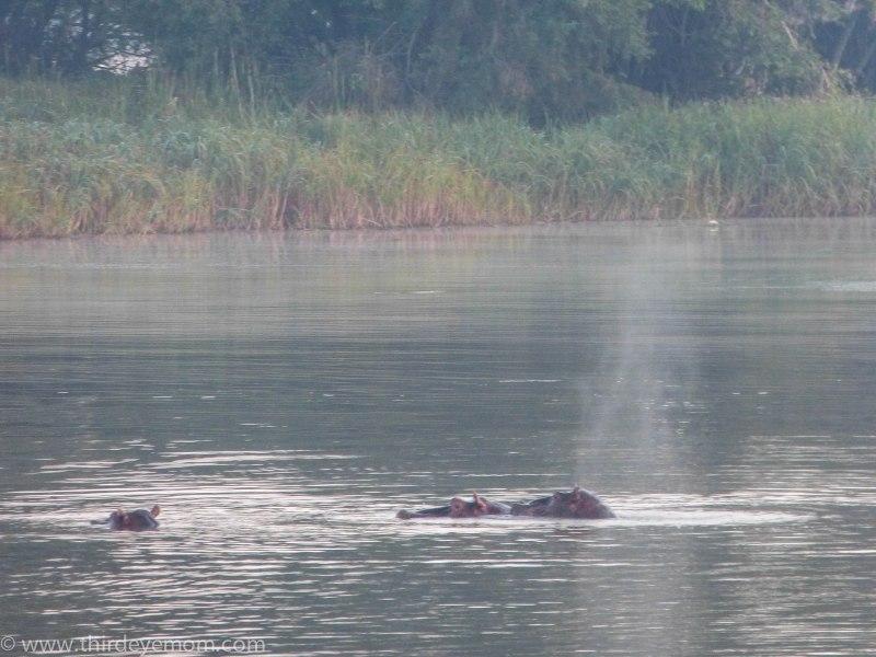 Hippos on Lake Tana, Ethiopia