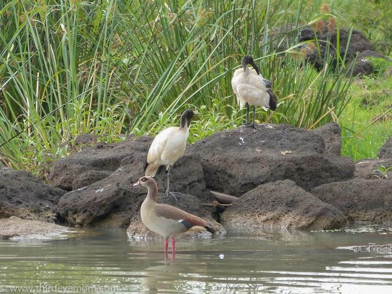 Birds of Lake Tana