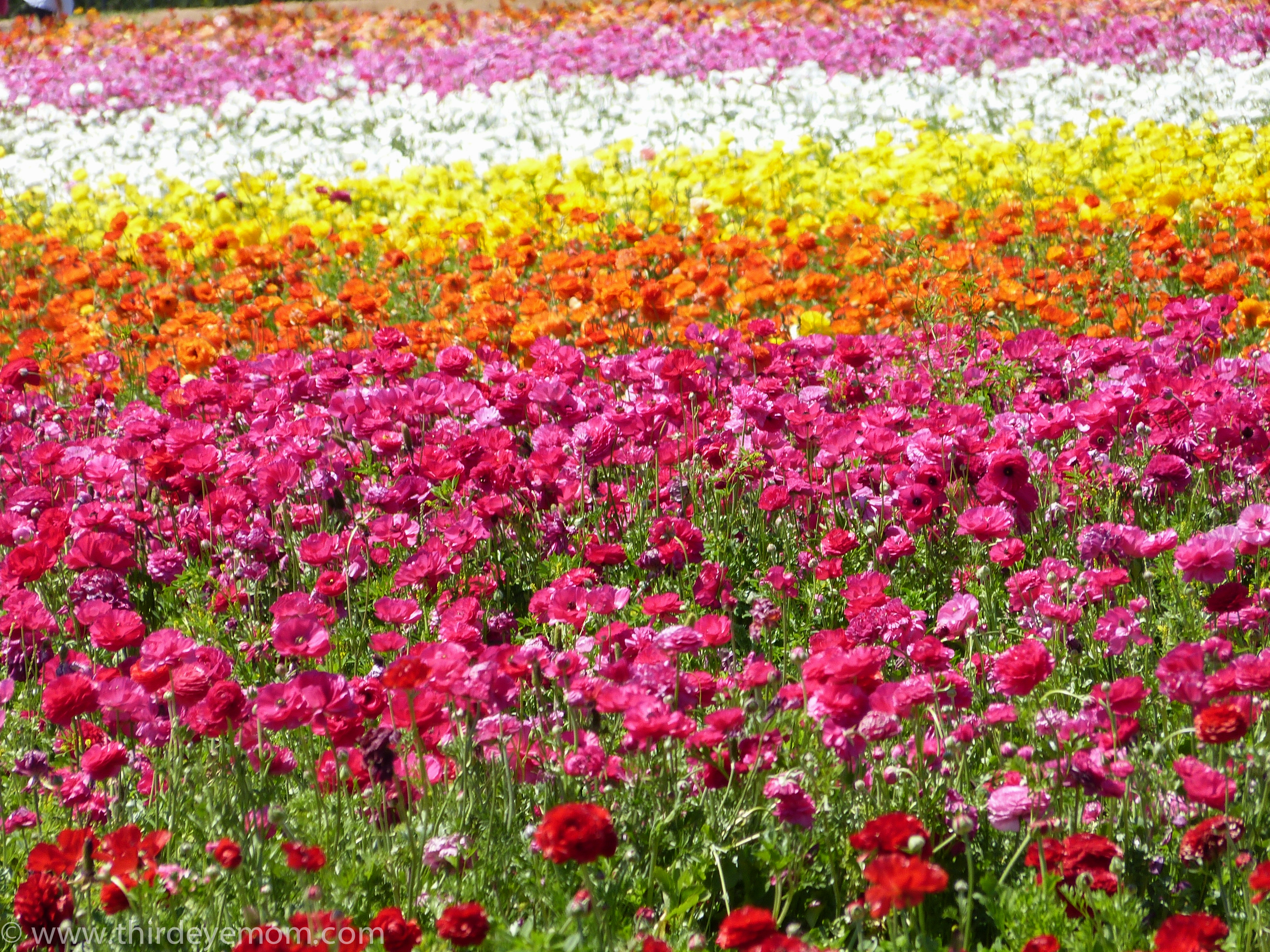 An afternoon at the Carlsbad Flower Fields