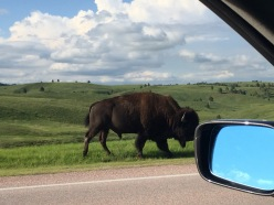 Yet once you arrive in the Black Hills, you see spectacular things like the American Bison.