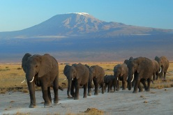 Elephants at Amboseli National Park with Mount Kilimanjaro looming in the background. Photo credit: Wikipedia Free Commons