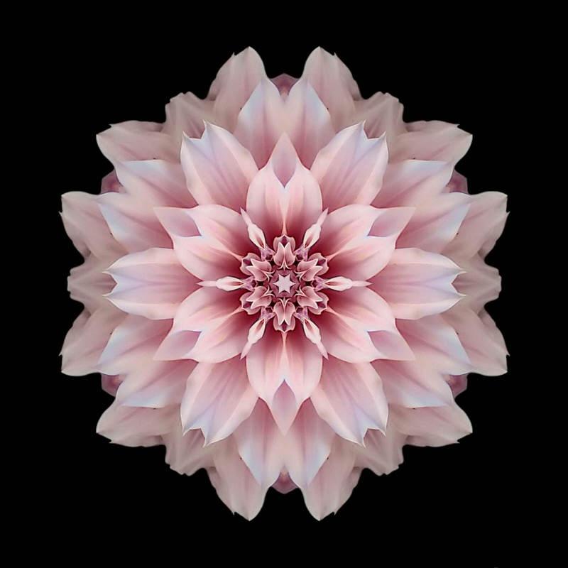 Pink_Dahlia_I_sRGB_800x800